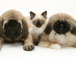 Pekingese and English Mastiff Puppies with Birman-Cross Kitten by Jane Burton