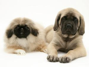 Pekingese and English Mastiff Puppies by Jane Burton