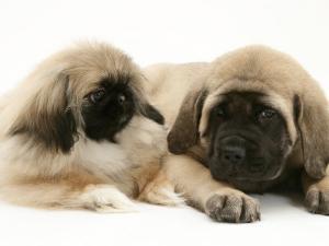 Pekingese Pup with English Mastiff Puppy by Jane Burton