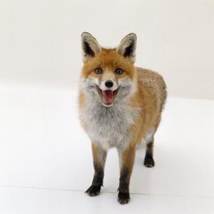 Red Fox Vixen Panting, UK by Jane Burton