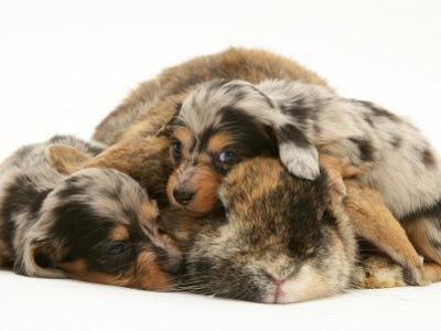 Silver Dapple Miniature Dachshund Puppies Cuddled up with Tortoiseshell Dwarf Lop Doe Rabbit by Jane Burton
