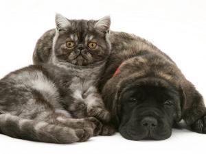 Smoke Exotic Kitten Curled up with Sleeping Brindle English Mastiff Puppy by Jane Burton