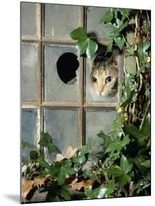 Tabby Tortoiseshell in an Ivy-Grown Window of a Deserted Victorian House by Jane Burton