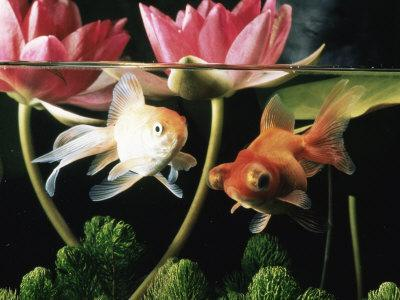 Two Goldfish (Carassius Auratus) with Waterlilies, UK