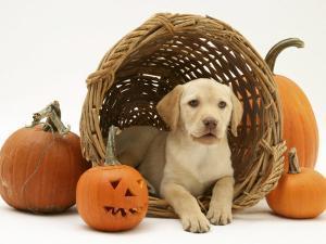 Yellow Labrador Retriever Pup Lying in Wicker Basket and Pumpkins at Halloween by Jane Burton