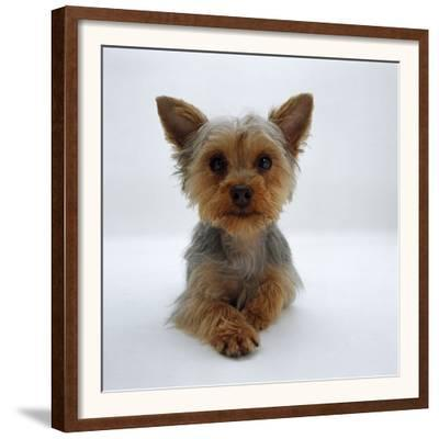 Yorkshire Terrier Puppy Lying with Head Up by Jane Burton