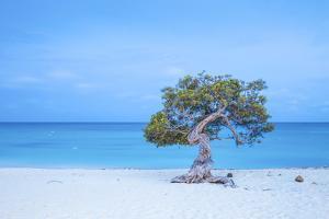Caribbean, Netherland Antilles, Aruba, Divi Divi Tree on Eagle Beach by Jane Sweeney