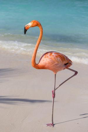 Flamingo on Flamingo Beach, Renaissance Island, Oranjestad, Aruba, Lesser Antilles