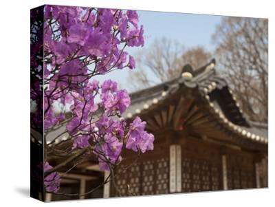 Korea, Seoul, Changdeokgung Palace, Cherry Blossom at Changgyeongggung Palace