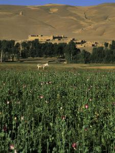 Poppy Field Between Daulitiar and Chakhcharan, Afghanistan by Jane Sweeney