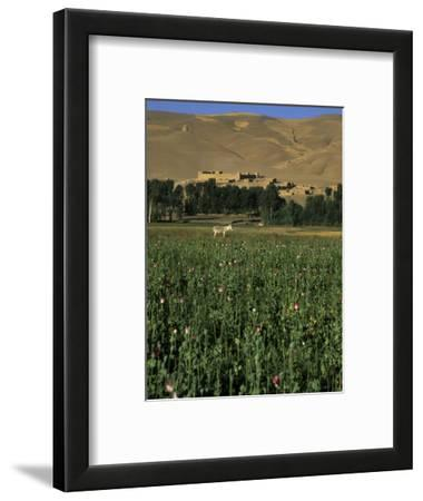 Poppy Field Between Daulitiar and Chakhcharan, Afghanistan