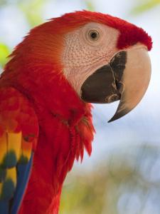 Scarlet Macaw, Roatan, Bay Islands, Honduras, Central America by Jane Sweeney