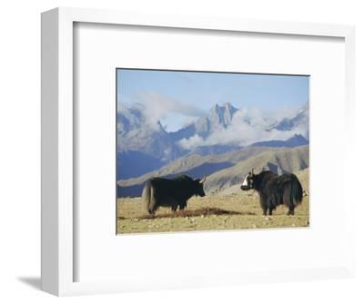 Yaks Near Nyalam, Tibet, China, Asia