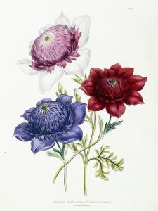 Cultivated Double Varieties of Anemone Coronarial, 1843-49 by Jane W. Loudon