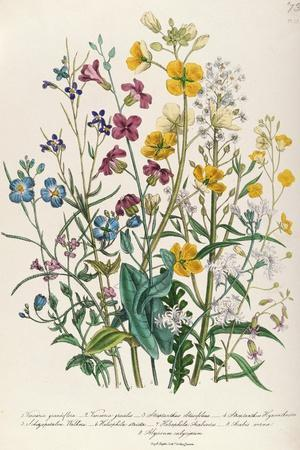 Forget-Me-Nots and Buttercups, Plate 13 from 'The Ladies' Flower Garden', Published 1842