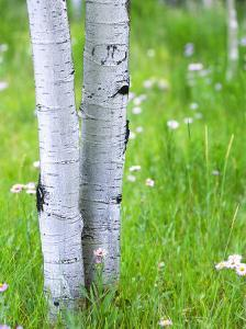 Aspen Trees and Wildflowers, Lake City, Colorado, USA by Janell Davidson