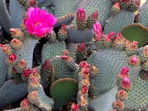 Blooming Beavertail Cactus, Joshua Tree National Park, California, USA by Janell Davidson