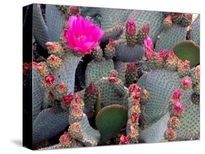 Blooming Beavertail Cactus, Joshua Tree National Park, California, USA