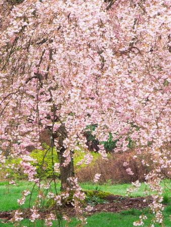 Flowering Cherry Tree, Seattle Arboretum, Washington, USA