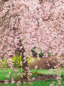 Flowering Cherry Tree, Seattle Arboretum, Washington, USA by Janell Davidson