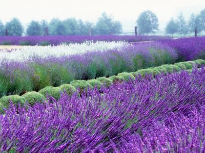 Lavender Field, Sequim, Washington, USA