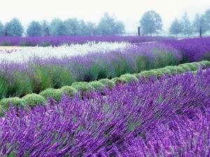 Lavender Field, Sequim, Washington, USA by Janell Davidson