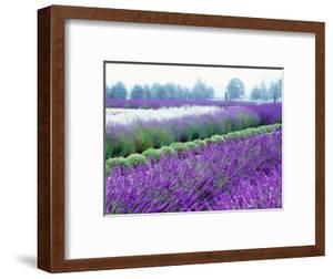 Lavender Field, Sequim, Washington, USA by Janell Davidson