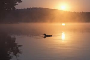 Loon, Cache Lake, Algonquin Provincial Park, Ontario, Canada by Janet Foster