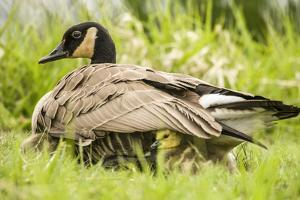 Canada Goose chicks hide under their mother's wings at Ridgefield NWR, Washington. by Janet Horton