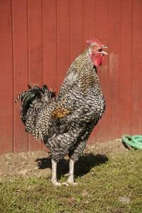 Carnation, WA. Hybrid Black Leghorn and Rhode Island Red rooster. by Janet Horton