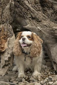 Cavalier King Charles Spaniel standing inside of a large, hollow tree stump. by Janet Horton