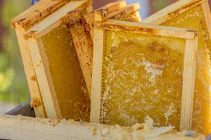 Close-up of frames of uncapped honey in a tub, waiting to be put into a honey extractor machine by Janet Horton