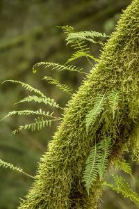 Hobart, Washington State, USA. Moss-covered tree with licorice ferns growing out of it. by Janet Horton