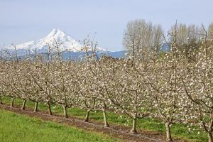 Hood River, Oregon, USA. Apple orchard in bloom with snow-covered Mount Hood in the background. by Janet Horton