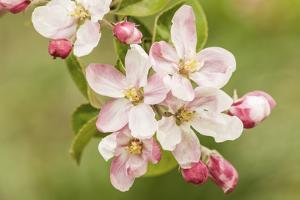Hood River, Oregon, USA. Close-up of apple blossoms in the nearby Fruit Loop area. by Janet Horton