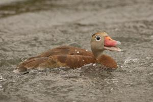 Houston, Texas. Black-bellied whistling duck (Dendrocygna autumnalis) swimming in an urban lake. by Janet Horton
