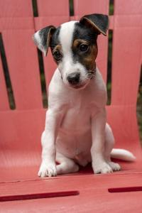 Issaquah, USA. Two month old Jack Russell Terrier sitting on a plastic patio chair. (PR) by Janet Horton