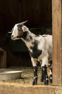 Issaquah, WA. Adult doe mixed breed goat looking out from the barn. by Janet Horton