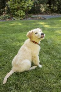 Issaquah, WA. Golden Retriever puppy demonstrating the 'sit' command on his lawn. by Janet Horton