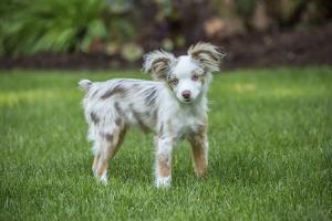 Issaquah, WA. Mini Australian Shepherd puppy playing in his yard by Janet Horton