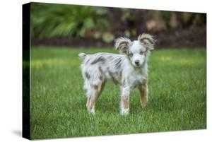Issaquah, WA. Mini Australian Shepherd puppy playing in his yard by Janet Horton