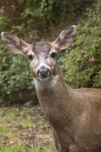 Issaquah, Washington. Male mule deer with antlers just barely visible in a rural residential yard. by Janet Horton
