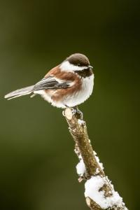 Issaquah, Washington State. Chestnut-backed chickadee perched on newly-pruned snow-covered branch. by Janet Horton