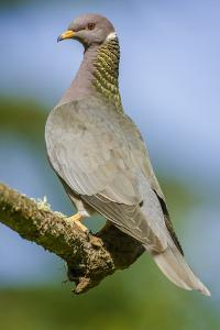 Issaquah, Washington State, USA. Band-tailed Pigeon (Columba fasciata) sitting on a branch. by Janet Horton