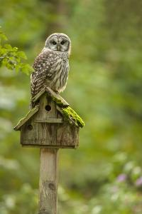 Issaquah, Washington State, USA. Barred owl perched on an old birdhouse. by Janet Horton