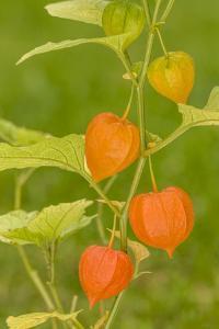 Issaquah, Washington State, USA. Bladder cherry (Physalis alkekengi). by Janet Horton