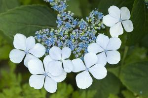 Issaquah, Washington State, USA. Bluebird hydrangea shrub in bloom. by Janet Horton