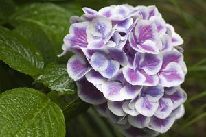 Issaquah, Washington State, USA. Buttons 'N Bows hydrangea close-up in a shady flower garden. by Janet Horton