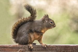 Issaquah, Washington State, USA. Douglas squirrel resting on the back of a wooden bench. by Janet Horton