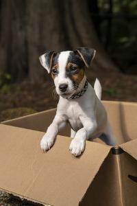 Issaquah, Washington State, USA. Two month old Jack Russell terrier posing in a cardboard box. (PR) by Janet Horton